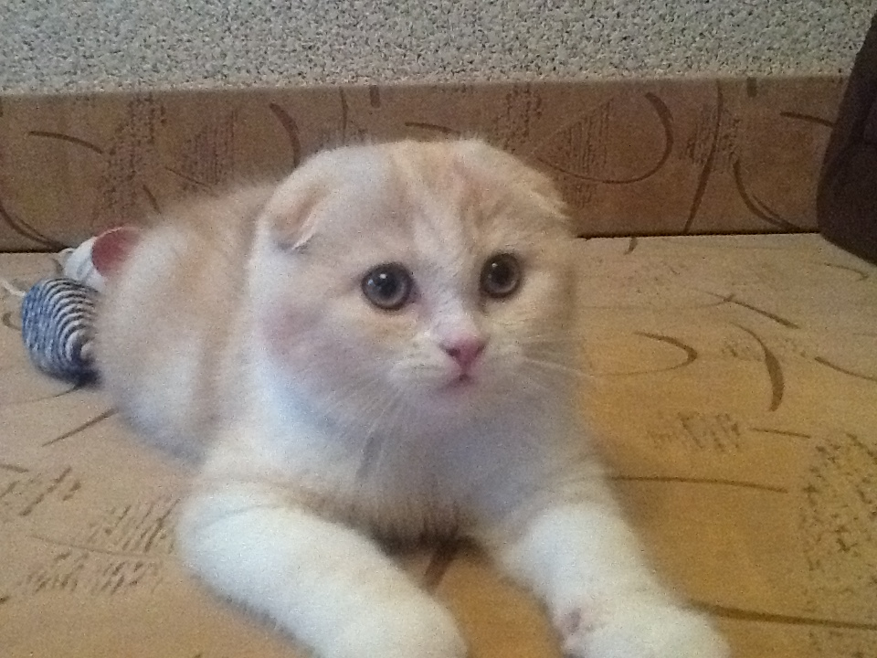 Scottish fold red cat Goldina Line Benefis