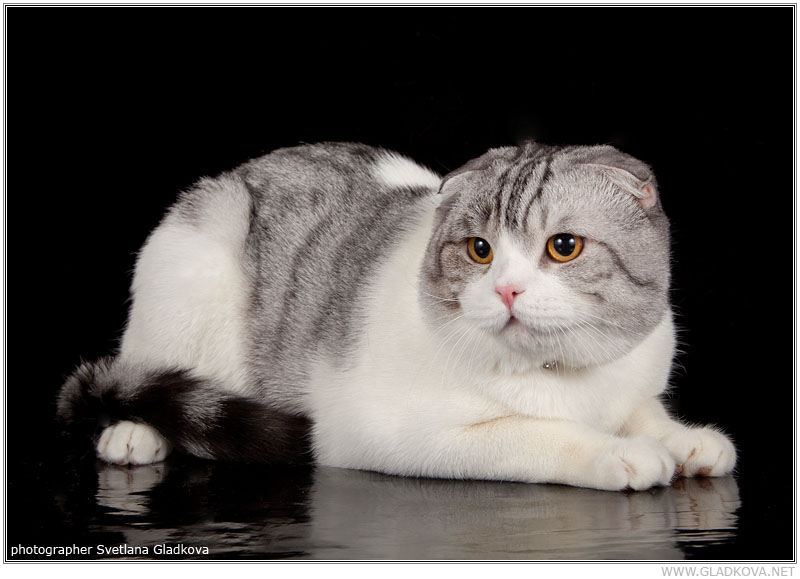 Scottish fold kennel Goldina Line Russia. Champion Vals Golaen Line