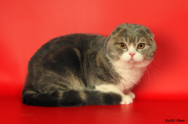 Scottish fold Zahar from ludmila. Kittens scottish fold and straight for sale