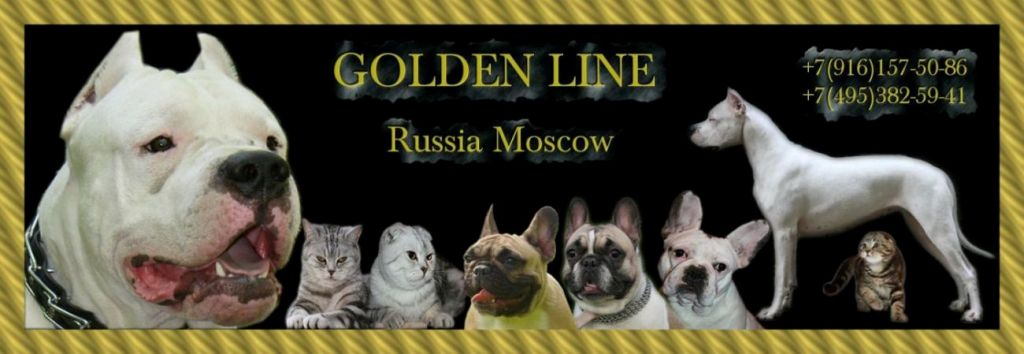 Scottish folded and straight cattery Golden Line Russia, Moscow