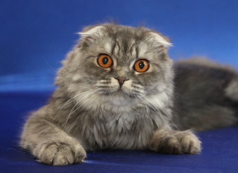 Scottish fold long haer Golden line Gortenziya